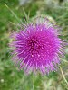 Scotlands thistle