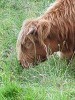 Scotlands highland cattle